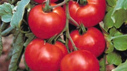 Как садить помидоры